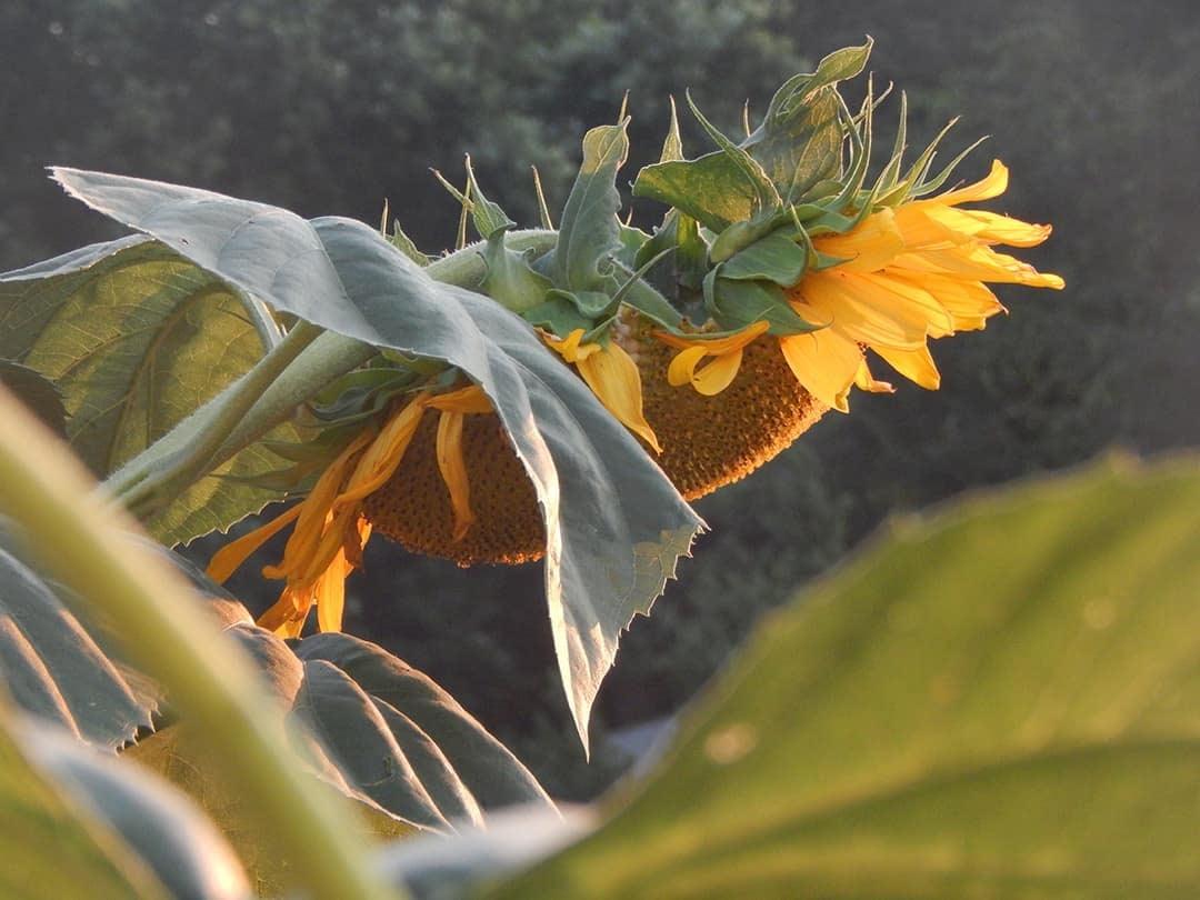 bowed sunflower